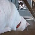 Photos: ネコさん水遊び中 頭からか...