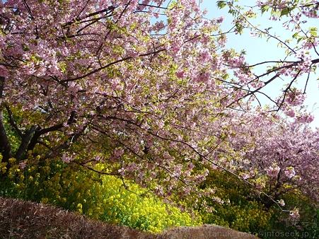 120329-松田山 河津桜 (110)