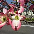 松山はなみずき通り2