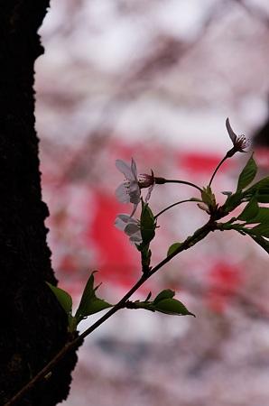 2011年4月、春寒。
