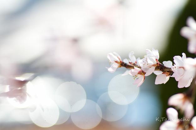 写真: 魯桃桜