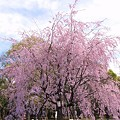 Photos: 大阪城のさくら♪