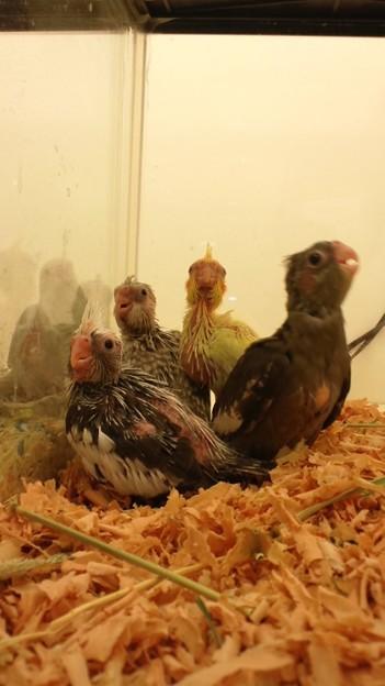 写真: オカメインコのヒナが四羽来...