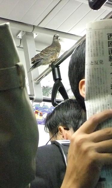 写真: 『本物の鳩も電車通勤』今、...