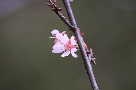 2011.10.16 和泉川 桜