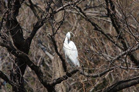 2012.04.02 和泉川 サクラにコサギ