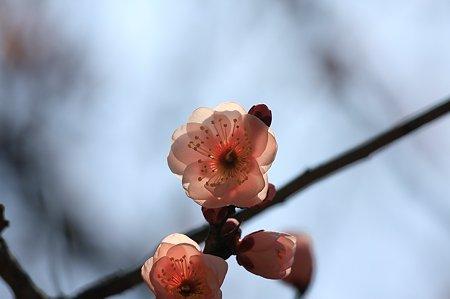 2011.02.16 大池公園 梅-ピンク
