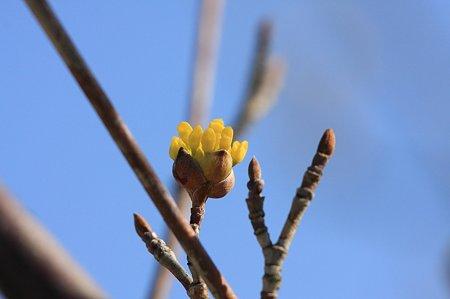 2011.03.03 和泉川 山茱萸