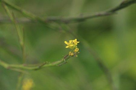 2011.05.26 和泉川 カキネガラシ