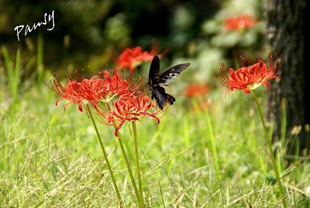 黒い蝶と赤い花・・彼岸花咲く三渓園・・14