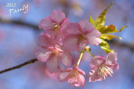 河津桜・・2