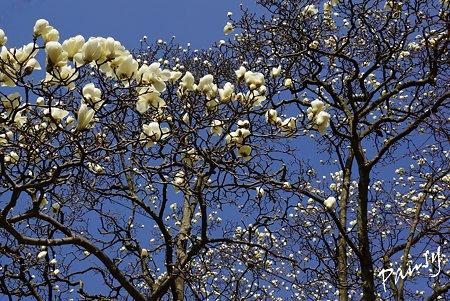 青空と・・ハクモクレンの樹・・