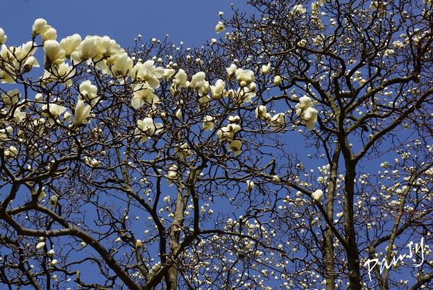 写真: 青空と・・ハクモクレンの樹・・