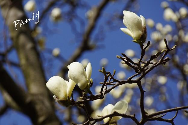 写真: 真っ白なマグノリア・・