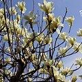 写真: Magnolia..