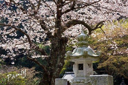 桜 kamakura 16