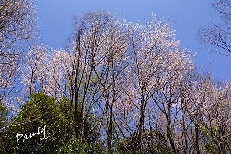 三ッ池公園の桜 1