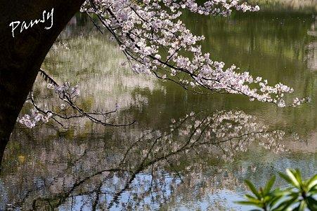 三ッ池公園の桜 3