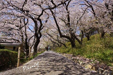 三ッ池公園の桜 5