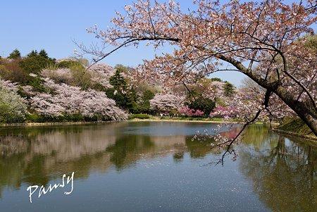 三ッ池公園の桜 54