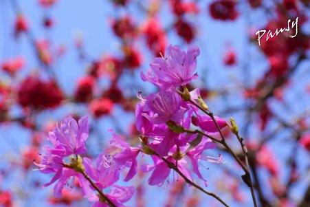 ミツバツツジと花桃と・・卯月の三渓園 31