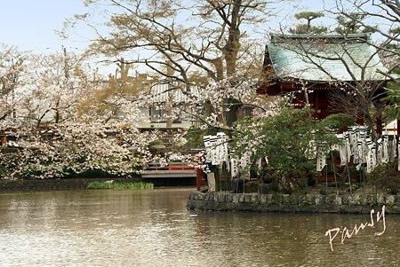 桜彩・・鶴岡八幡宮 8
