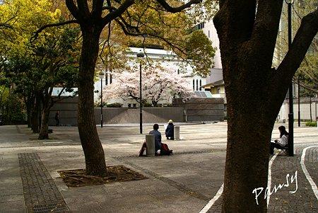 横浜 桜 sketch..4