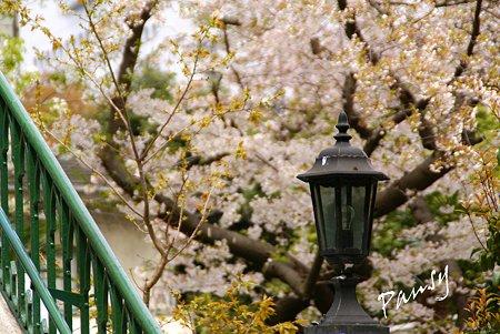 横浜 桜 sketch..6