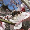 Photos: 梅と昆虫