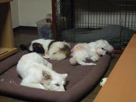 保護犬チビトリオ