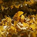 写真: イチョウの落ち葉!(111112)