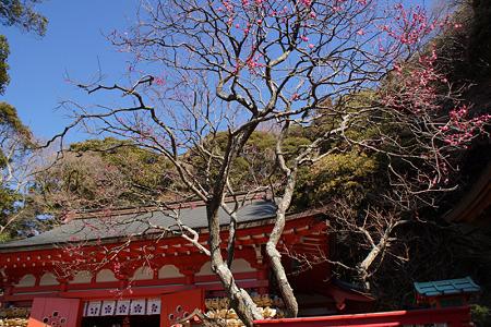荏柄天神社の紅梅咲く!(120218)