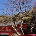 Photos: 荏柄天神社の紅梅咲く!(120218)