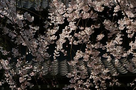 枝垂桜のカーテン!(110402)