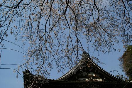 しだれ桜とお寺!(110402)