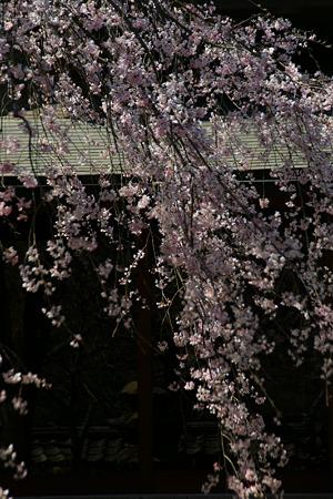 しだれ桜、東慶寺!(110406)
