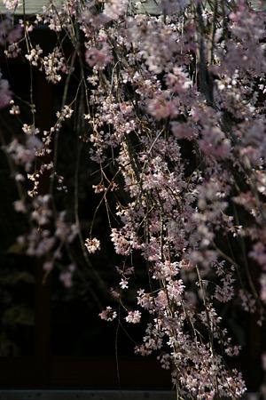 しだれ桜、東慶寺2!(110406)
