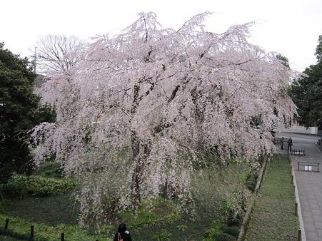 枝垂桜 (2)