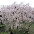 写真: 枝垂桜 (2)