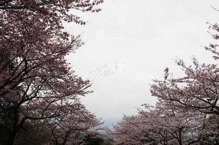 曇りのち桜と富士山3
