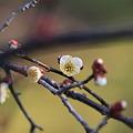 岡山後楽園の梅