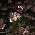 Photos: 福井城趾の夜桜