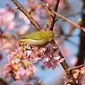 Photos: 110226-1河津桜とメジロ