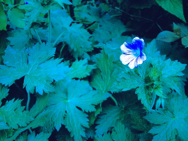 写真: 青かぶり