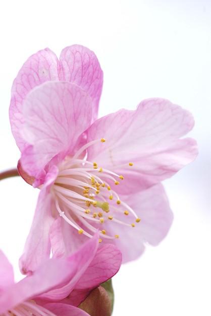 IMGP8997上関町、城山公園河津桜