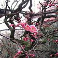 120302紅梅1(文京区春日)