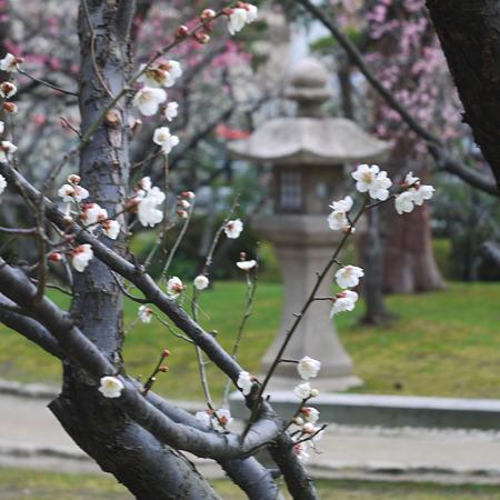 新潟白山神社の梅1