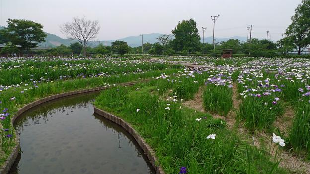 大和花しょうぶ園(14)