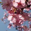 Photos: 山桜が咲いてます。 041