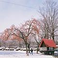 雪の中の柿の木